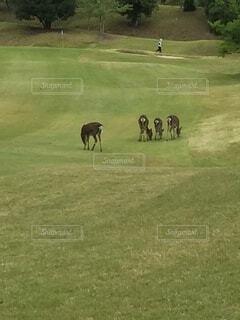 ゴルフ場の鹿の写真・画像素材[4156214]