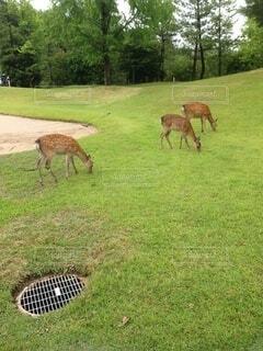 ゴルフ場の動物の写真・画像素材[4156217]