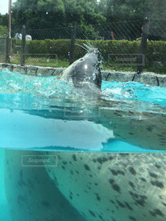 動物,プール,泳ぐ,哺乳類,アザラシ