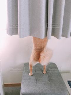 カーテンの前に立っている猫の写真・画像素材[2178477]