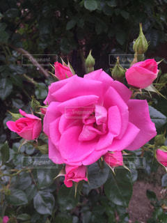 植物にピンクの花の写真・画像素材[1372703]