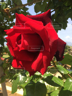 近くに赤い花のアップの写真・画像素材[1373768]