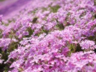 芝桜の写真・画像素材[1374734]
