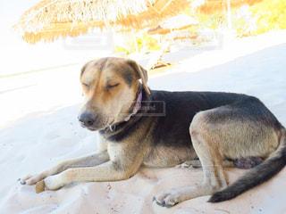 犬,ビーチ,夏バテ,マダガスカル