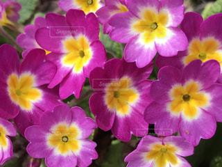 花,ピンク,かわいい,カラフル,鮮やか
