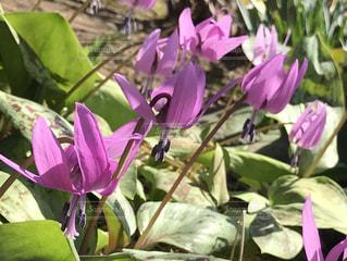 自然,花,屋外,ピンク,かたくり