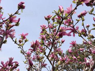 花,木,屋外,ピンク,もくれん