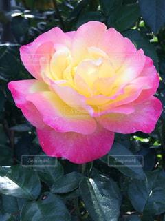 花,屋外,ピンク,バラ,鮮やか
