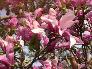 花,木,屋外,ピンク,鮮やか,もくれん