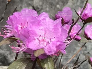 花,屋外,ピンク,つつじ