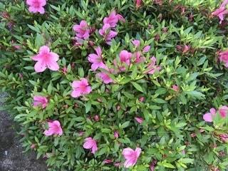 花,屋外,ピンク,鮮やか