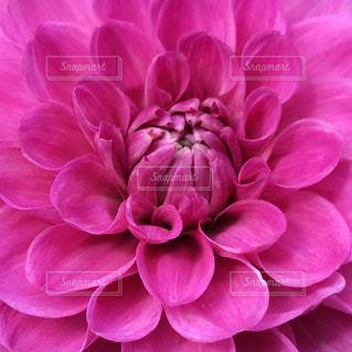 自然,花,屋外,ピンク,鮮やか,ダリア