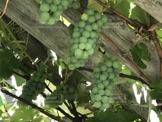 秋,緑,甘い,おいしい,収穫,マスカット,ぶどう,秋の味覚,食欲の秋