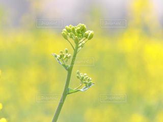花,春,菜の花,蕾