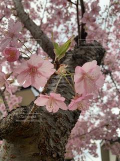 花,ピンク,樹木,河津桜,さくら