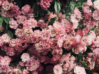ピンク,バラ,鮮やか