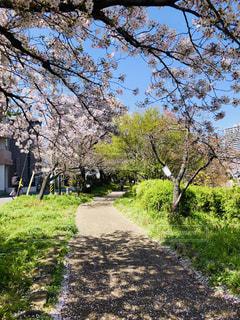 桜の小道の写真・画像素材[1989675]