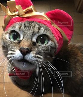 赤い帽子をかぶってカメラを見ている猫の写真・画像素材[2334161]