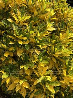 黄色,葉,沖縄,宮古島,イエロー,色,黄色い葉