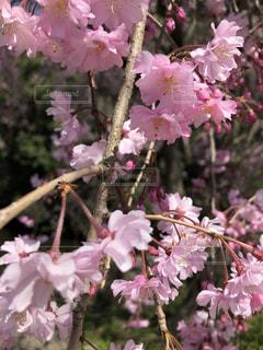 花,桜,ピンク,お花見
