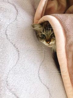 毛布にくるまっている子猫の写真・画像素材[1634964]