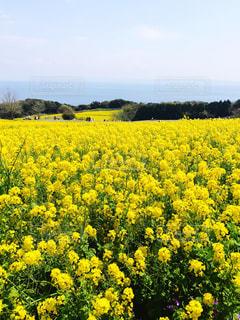 淡路島の菜の花畑と明石海峡の写真・画像素材[1865153]