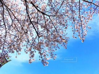 桜と青空の写真・画像素材[1962350]