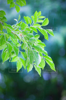 葉っぱについた水滴の写真・画像素材[2107454]