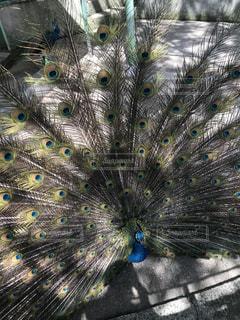 動物,鳥,羽,動物園,孔雀,カラー,クジャク,雄,phasianid