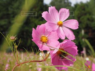 花,ピンク,コスモス,蜂,とよのコスモスの里