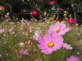 秋,花畑,ピンク,コスモス,とよのコスモスの里