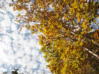 秋,紅葉,青空,イチョウ,秋空