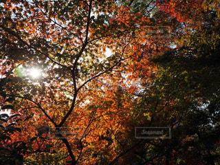 秋,紅葉,太陽,光,イチョウ,秋空