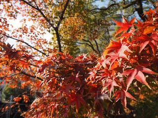 秋,紅葉,青空,光,イチョウ,秋空