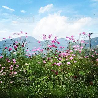 秋桜,信州,秋空