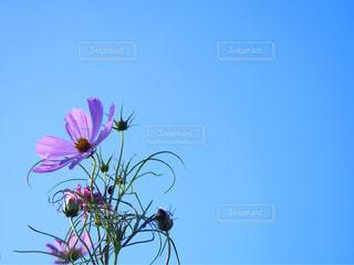 自然,空,花,屋外,ピンク,コスモス,青空,水色,秋桜,日中,翠波高原
