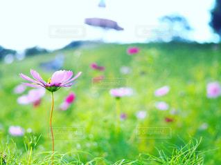 自然,風景,空,花,秋,屋外,ピンク,コスモス,景色,秋桜,日中,翠波高原