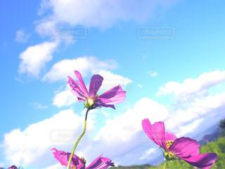 自然,風景,空,花,秋,屋外,ピンク,コスモス,青空,水色,景色,秋桜,日中,翠波高原