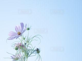 自然,風景,空,花,秋,屋外,ピンク,コスモス,青空,水色,景色,秋桜,秋空,翠波高原