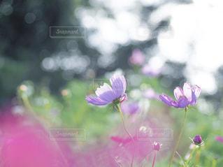 自然,風景,花,秋,屋外,ピンク,コスモス,景色,秋桜,日中,翠波高原