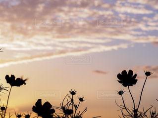 自然,風景,空,花,秋,夕日,屋外,ピンク,コスモス,夕焼け,景色,秋桜,うろこ雲,秋空,愛媛県,日中