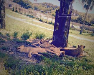 夏,動物,暑い,休憩,寝る,アドベンチャーワールド,アニマル,サファリ,夏バテ,バテる,暑さに負けるな