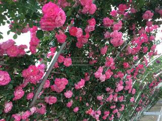 近くの植物にピンクの花のアップの写真・画像素材[1457107]