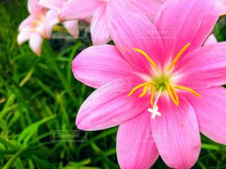 花,庭,ピンク,ガーデン,レインリリー