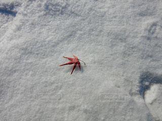 冬,雪,海外,白,葉っぱ,葉,もみじ,落ち葉,韓国,ホワイト,ソウル,スノー,積もる,もみじの葉