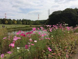自然,花,コスモス,鉄塔