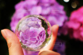 水晶にうつしたピンクの紫陽花の写真・画像素材[1414221]