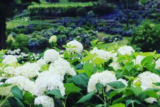 紫陽花の写真・画像素材[3422269]