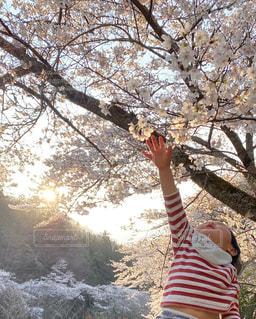 風景,花,春,桜,屋外,子供,樹木,お花見,夕陽