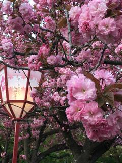 桜の写真・画像素材[487279]